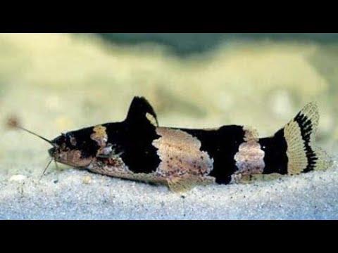 Bumblebee Catfish (Microglanis Iheringi) Profile