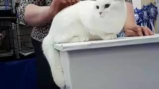 Mirasinel Elisey белый британский кот