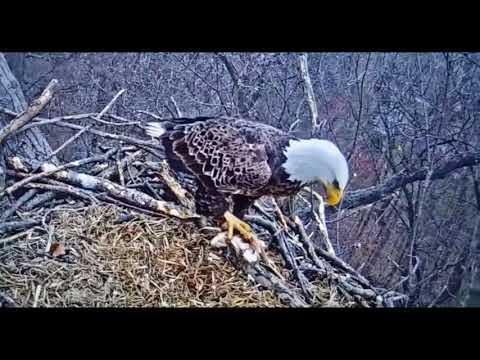 Bald eagle soap opera heats up at nest near Hanover: The original female is back