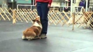 "Pembroke Welsh Corgi ""derby"" - High Jump - Obedience"