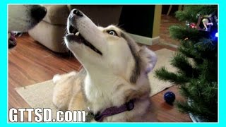 Siberian Husky Howl Duet Singing Howling Huskies *snow Dog Short 36*