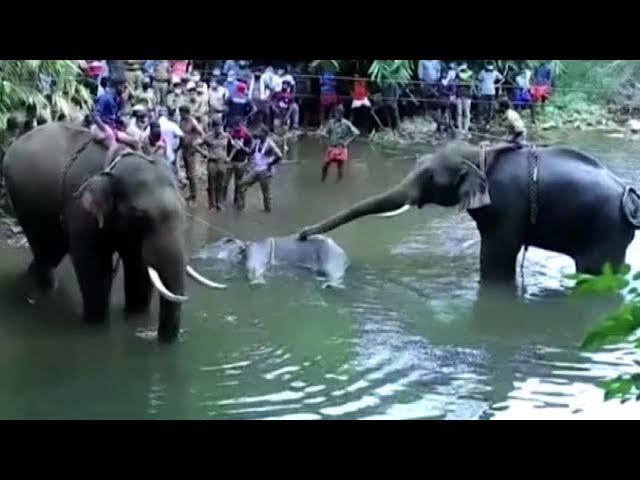 India, elefantessa incinta uccisa con un ananas esplosivo - askanews