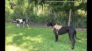 Great Danes Enjoy a Walk With New Tactical Dog Harnesses