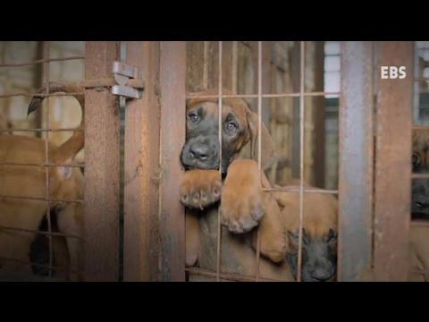 Le HuffPost Corée publie une vidéo pour dénoncer le traitement des chiens destinés à être mangés