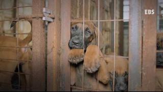 Baixar Le HuffPost Corée publie une vidéo pour dénoncer le traitement des chiens destinés à être mangés