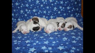 Coton de Tulear Puppies 1/27/20
