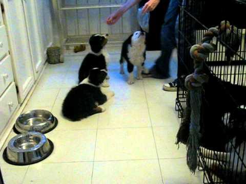 Trained 7 week old Mini Aussie Puppies doing tricks!  'Paw Power' www.allstarminiaussies.com