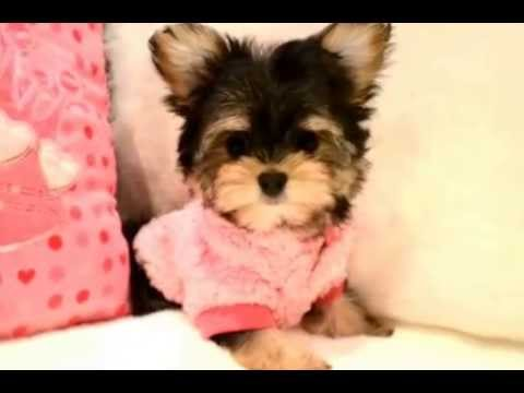PERFECT TEACUP MORKIES FOR SALE TORONTO