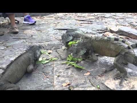 Iguanas in Parque Seminario, Guayaquil, Ecuador