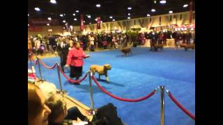 2010 Eukanuba National Championship - Dogue De Bordeaux - Breed Ring - Video 1