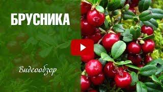 видео Брусника - Лечебные свойства Брусники - Применение Брусники в