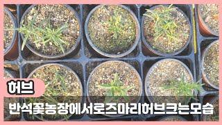 반석꽃농장 로즈마리허브…