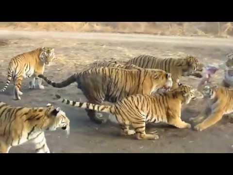 Tigres siberianos matam presa viva em cativeiro