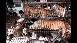 Are the Chinese serving dog and cat meat in restaurants in Jamaica?