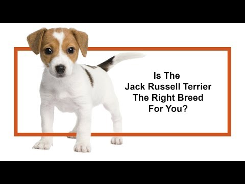 Is the Jack Russell Terrier the right breed for you?