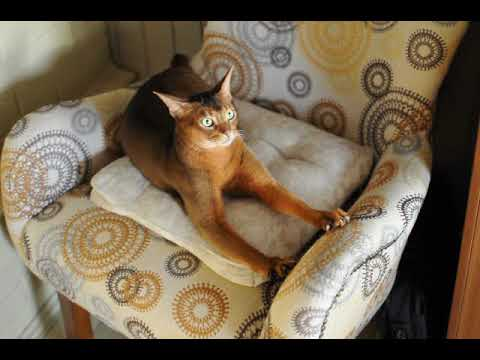 Masyao (Young Abyssinian male cat)