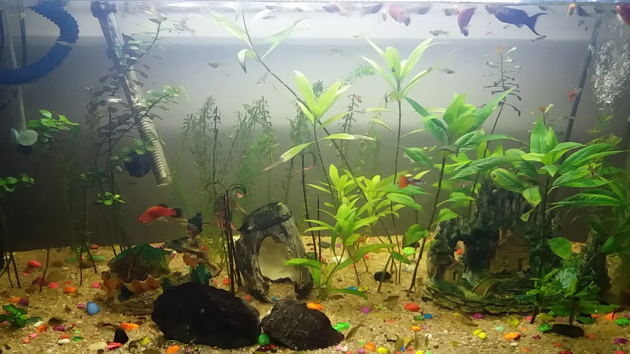 Platy Guppy And Molly Tank 60 Gallon Aquarium 240 L Youtube