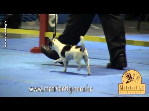 Show Dog Chihuahua - Matriart LG Isadora   KC Stª Catarina   Abril 2012