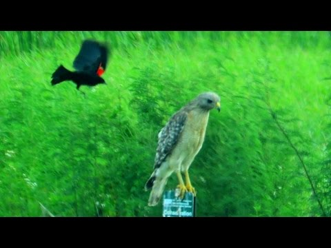 Red Winged Black Bird Attacks Red Shouldered Hawk