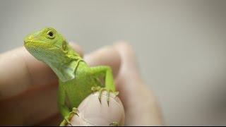Rare Baby Iguana Discovered
