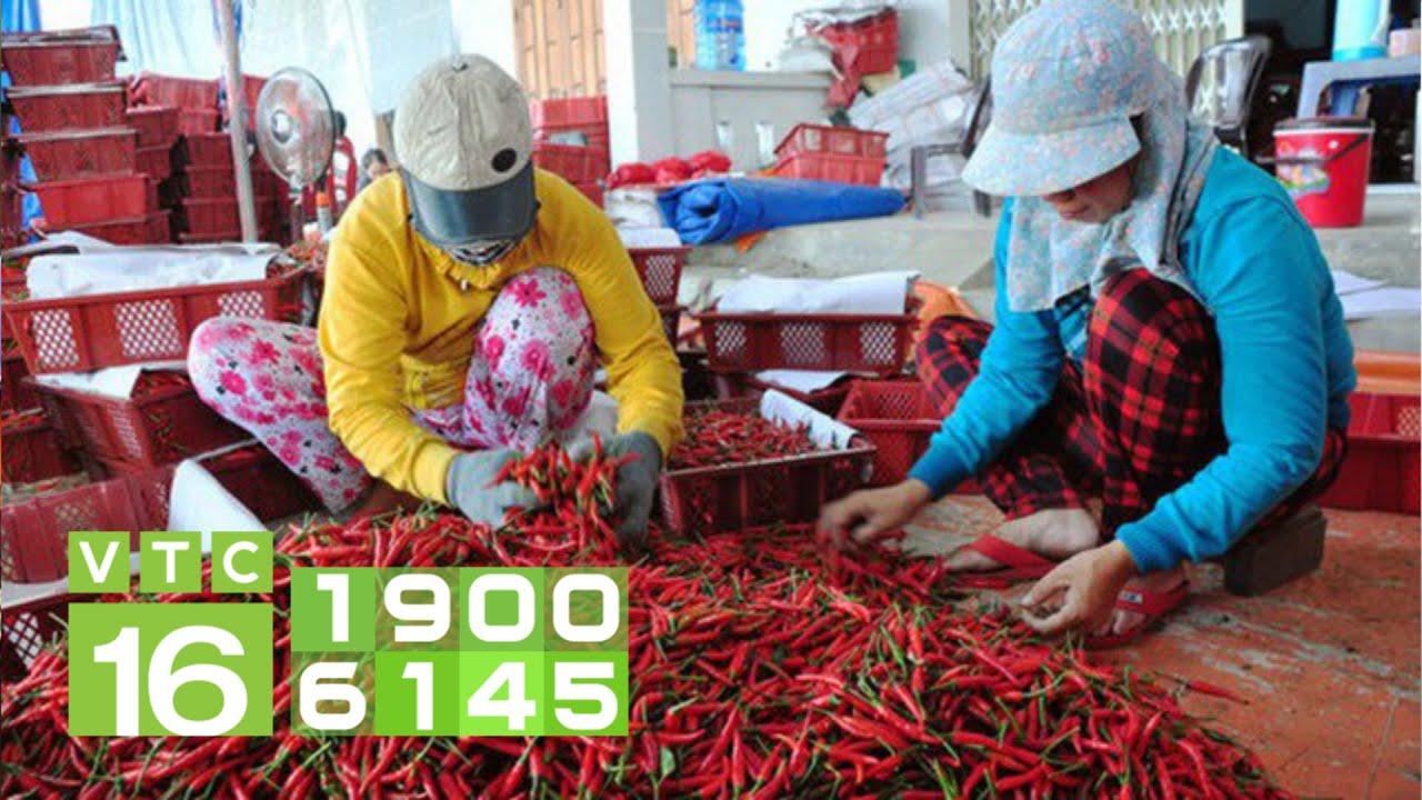 Trung Quốc ngừng nhập khẩu, doanh nghiệp mua ớt lo phá sản   VTC16