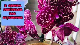 3 ADIMDA ORKİDELER DAL FIŞKIRICAK 💯🙋♀️ | EBRUNUN DENİZİ Orkide Doğru Gübre Kullanımı