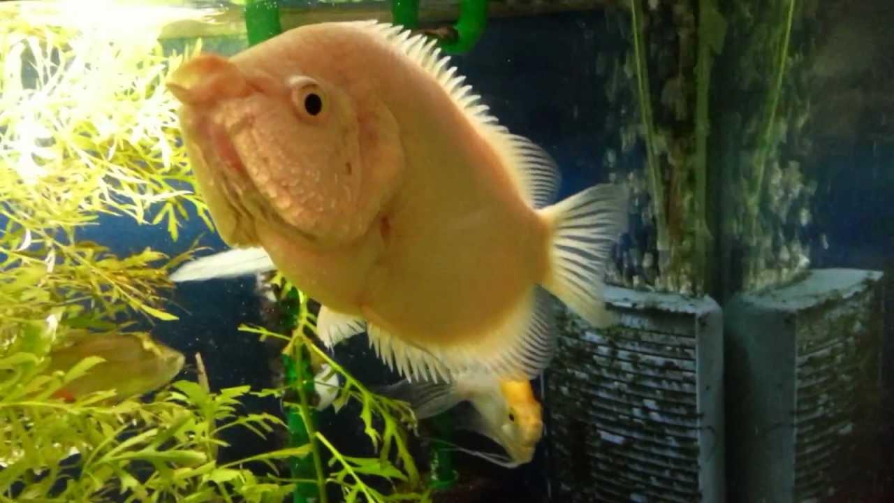 Kissing gourami 27 years old youtube for Kissing gourami fish