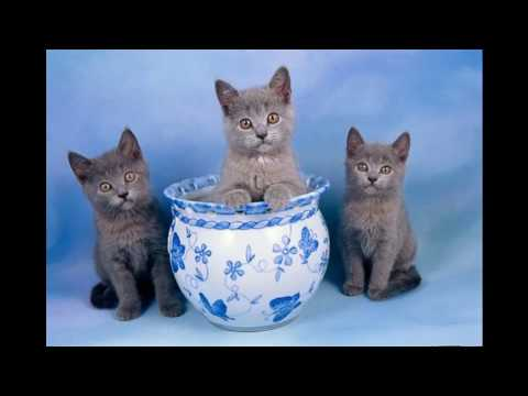 Chartreux Cat and Kittens | History of the French Historical Breed
