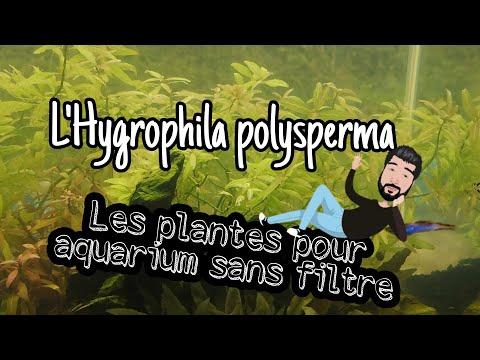 l'hygrophila polysperma : Les plantes pour aquarium sans filtre