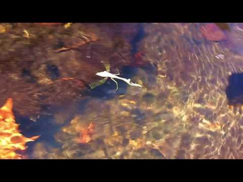 Rare footage of swimming praying mantis intrigues scientists