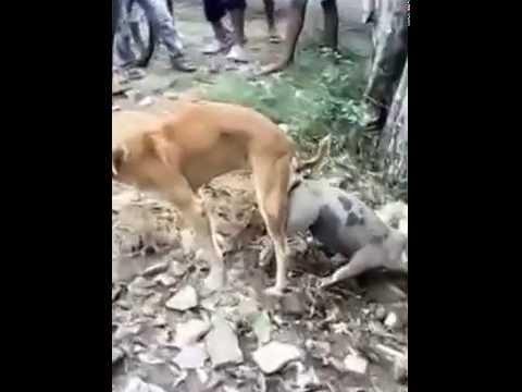 Chó với Lợn quan hệ với nhau