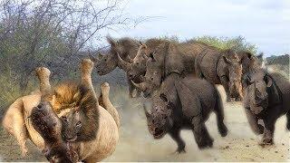 勇敢なサイ1対5ライオンサイは自分自身を守るためにライオンを攻撃しま...
