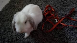 Выгуливание кролика на шлейке/Как, зачем почему?