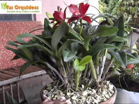 Orquideas cattleyas e hibridos cuidados youtube - Como cuidar una orquidea en casa ...