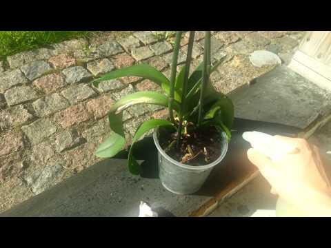 орхідея догляд