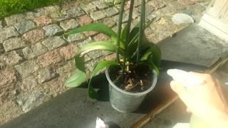 Орхидея ч.1. Мой метод полива орхидеи Удобрения Простые принципы правильного ухода за цветами(Как я ухаживаю за своей орхидеей. Обильное цветение - результат правильного ухода. Полив орхидеи для распыл..., 2014-01-20T00:53:47.000Z)