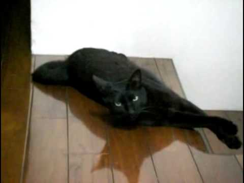 Bombay Cat   [ They are not independent ]