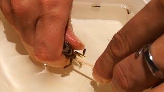 Nacimiento de peces ciclidos ( Mario Blogs)