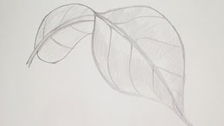 How to draw or sketch Long Turned Mango Leaf #5
