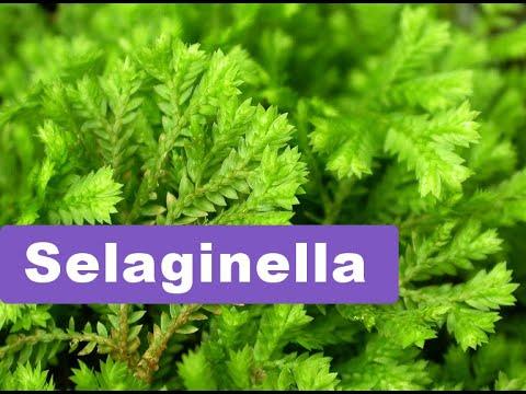 Selaginella   (  Basic Information  )