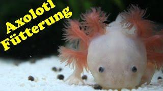Axolotl Fütterung