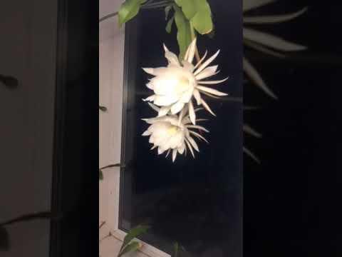 An amazing  night Queen flower
