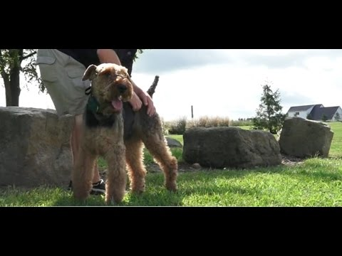 Dog Training: 3 Year Old Airedale Terrier, Charlie! Before/After 2 Week Board and Train!