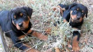 Ruthie Jr. X Bear Rottweiler 3 Female Puppies For Sale!