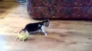 Cat gets HUGE fright when bearded dragon scares it! LMFAO