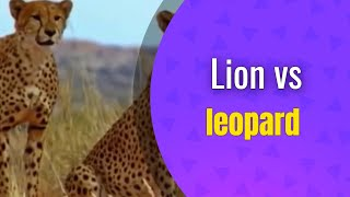 manila88 #lion #fight Lion vs leopard wildlife fight - https://www....