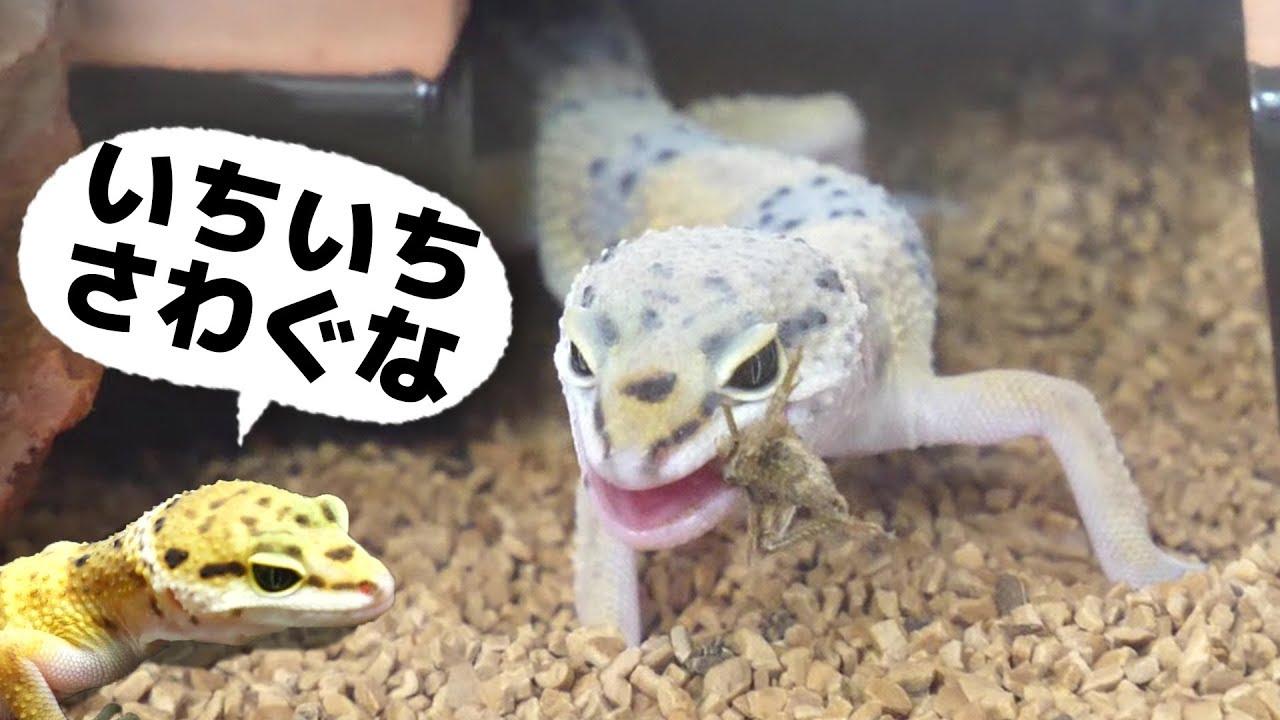 レオパ脱皮か!?&コオロギもぐもぐ   Leopard Gecko  Lizard