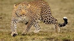Africa Predatori letali - Il leopardo affamato