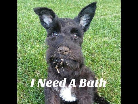 Schnauzer Puppy Get's A Bath   Schnauzer Mom