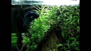 blauer Kampffisch im 20L Nano